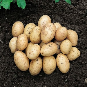 Valley Rural Supplies | Seed Potato